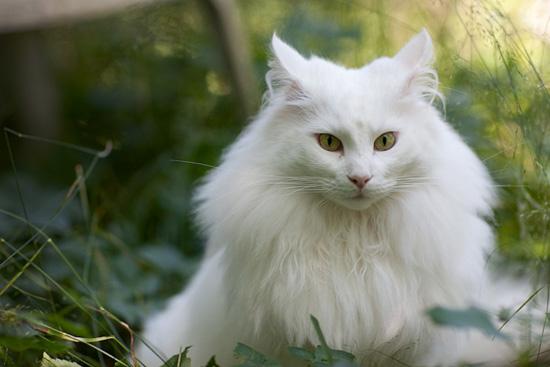 各种颜色的挪威森林猫图片