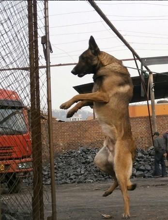 为什么狗容易驯服