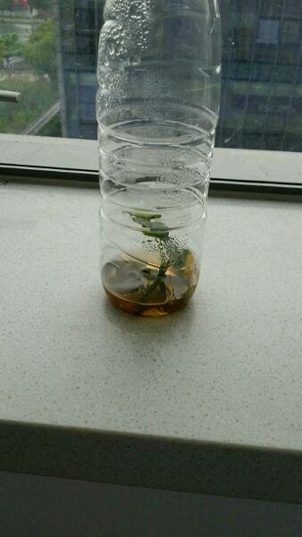 回复:介绍一种全新的矿泉水瓶月季扦插方法,另附我自己的扦插结果图片