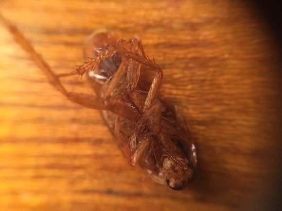 蟑螂怕光吗