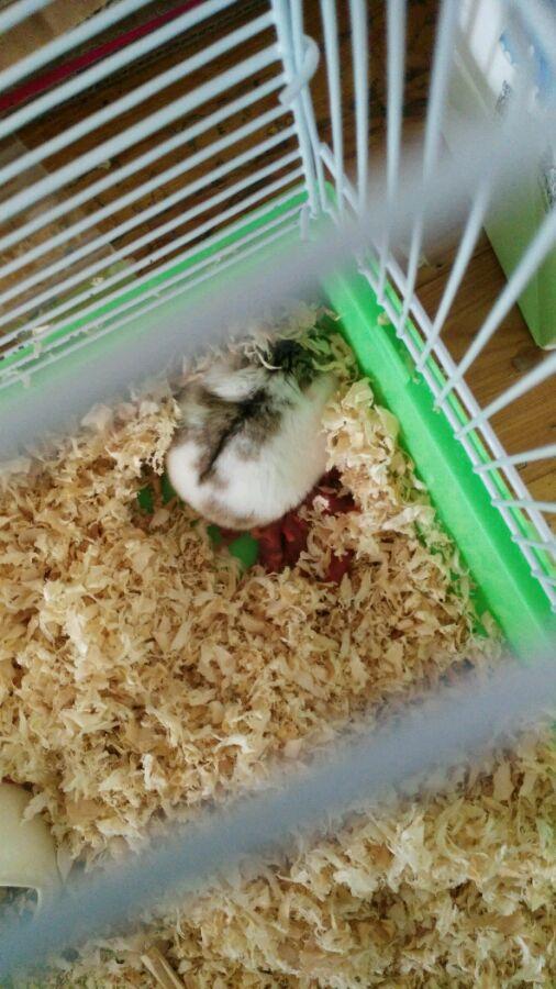 【求助】刚拿回家的仓鼠生宝宝了怎么办!图片