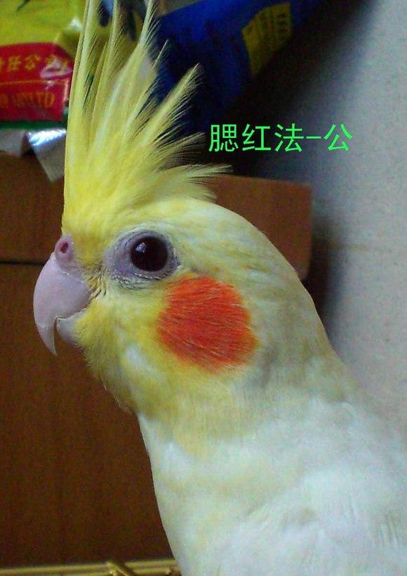 玄凤鹦鹉分公母,雌雄分辨图片