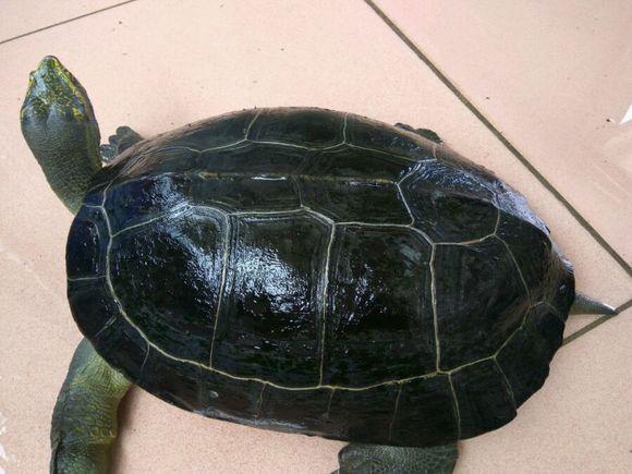 宋朝古墓千年巨龟图片