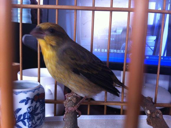 麻料鸟怎么分公母