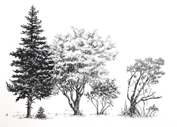 【技法】钢笔画植物,花卉,树木(国外绘画技法)图片