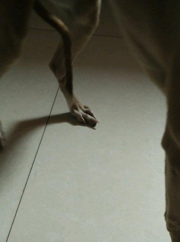 狗狗狗腿指筋断了对以后影响大吗=>鼠标右键点击图片另存为