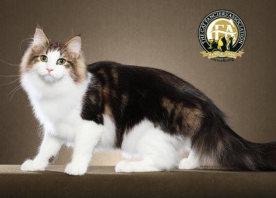 挪威森林猫品种标准(cfa)----图文版图片