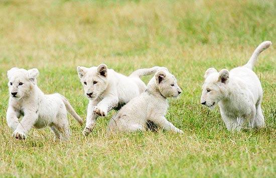 米亚与白狮百度网盘