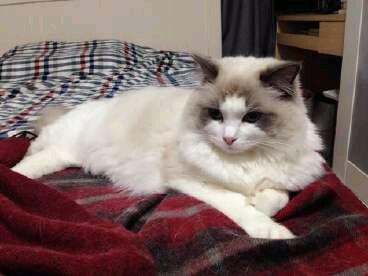 布偶猫配美国银虎班猫