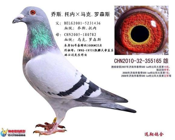 治疗预防信鸽 歪脖子 病的几个小诀窍