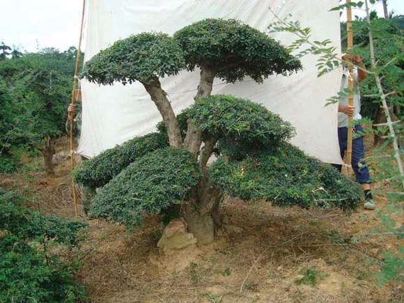 造型树,要想找到一个好的景观树必须注意以下几点:一,看树木的根基图片