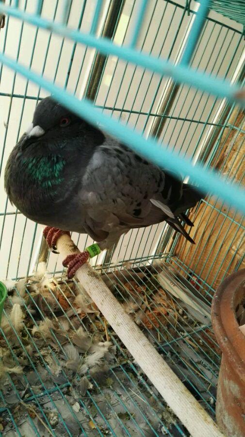 泡沫好:蝴蝶吃了咖啡,现在吐食,刚发现的,这回早晨泸州老师鸽子图片