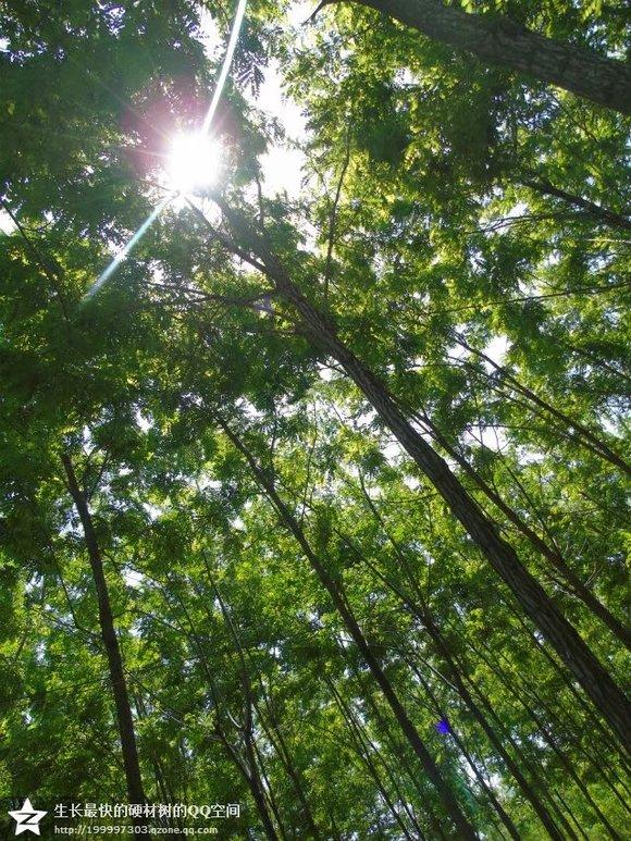 泓森槐成林业投资新热点,到底因为啥?【苗木吧】_百度图片