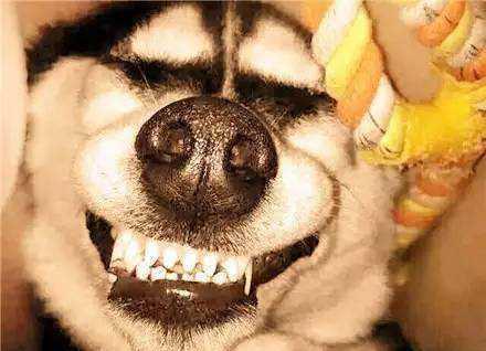 【图片】二哈的这些神表情,看完笑三天【扣字吧】图片