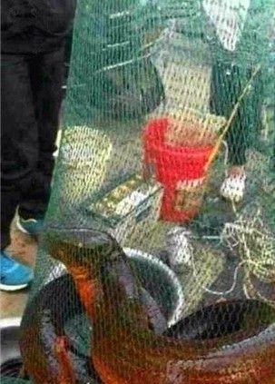 世界最大的鳝鱼_世界上最大的黄鳝