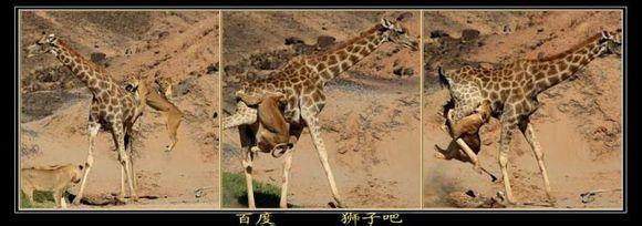长颈鹿一脚踢死狮子