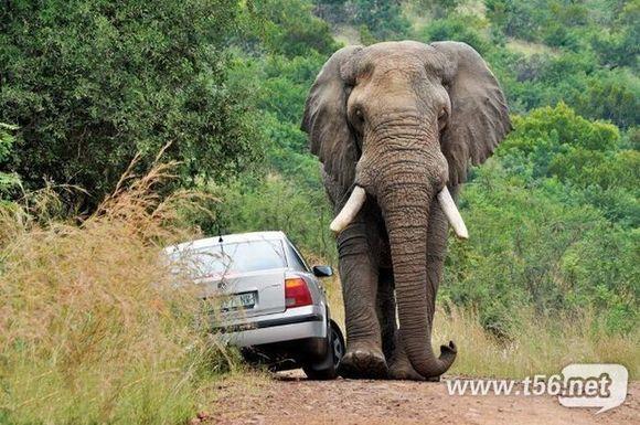 非洲雄狮河边喝水差点被大象踩死