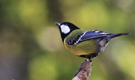 中国北方,多有表现绿背画眉的习惯,一般人多玩赏其a画眉多变的山雀玩赏鸣声鸟的为主图片