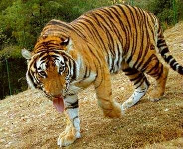 华南虎仅在中国分布,是中国特有的虎亚种.