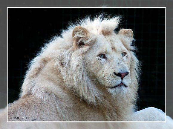 白虎和白狮那个漂亮,各抒己见