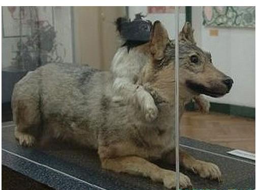 恐怖黑暗的动物实验【苏联移植双头狗】(图)