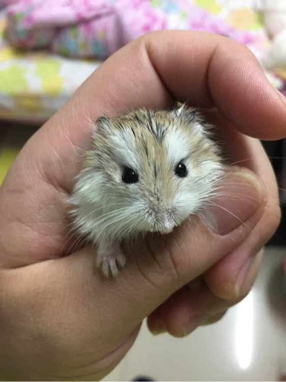 【v仓鼠】我家仓鼠刚生小宝宝了!我是新手!虎极博老虎机图片