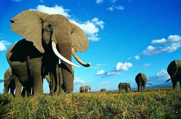 非洲象是陆地霸主,在《动物大比拼》中,大象几个回合就干倒了犀牛!