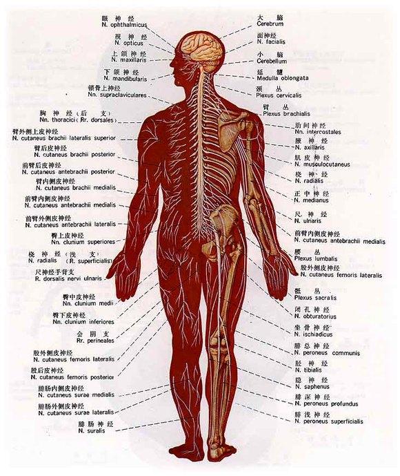 人体肌肉分布图_先上图,图一为人体穴位分布图,图二为人体肌肉分布图,图三为