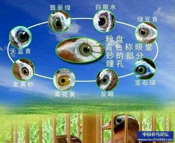 最全的画眉眼水图-打斗画眉鸟眼水图片 2016画眉画眼 继续学习 画眉