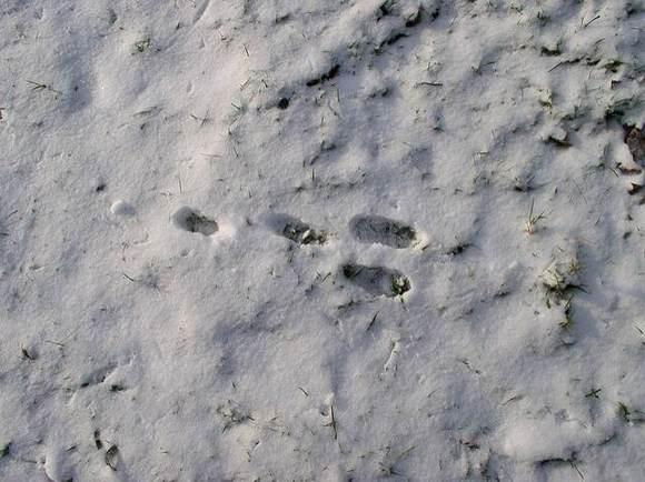 兔子脚印图片