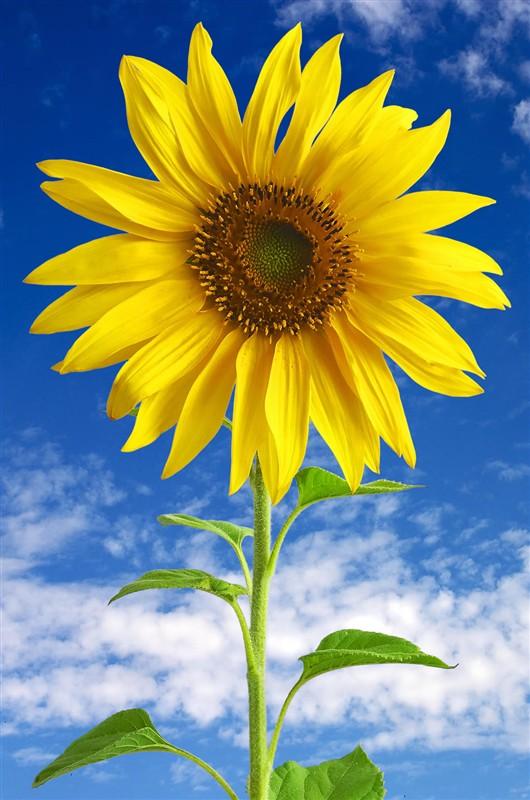 阳光下的向日葵加倍灿烂