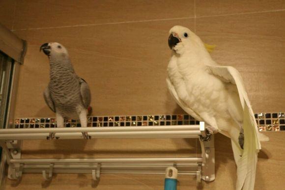 40天灰机鹦鹉多少温度
