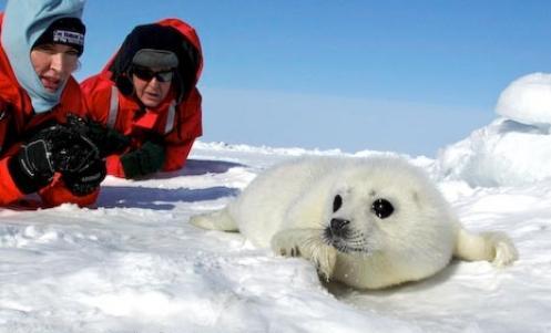 【搬运】个人收集的一些自认为萌的海豹图图片