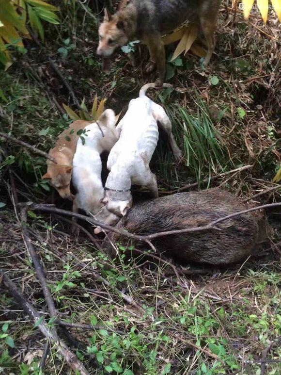 都说杜高犬实战打猎没用的朋友看看,这野猪纯野生的吧