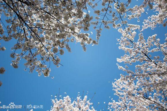 清明樱花祭简谱_清明樱花祭返图