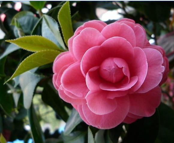 山茶花是中国的十大名花之一