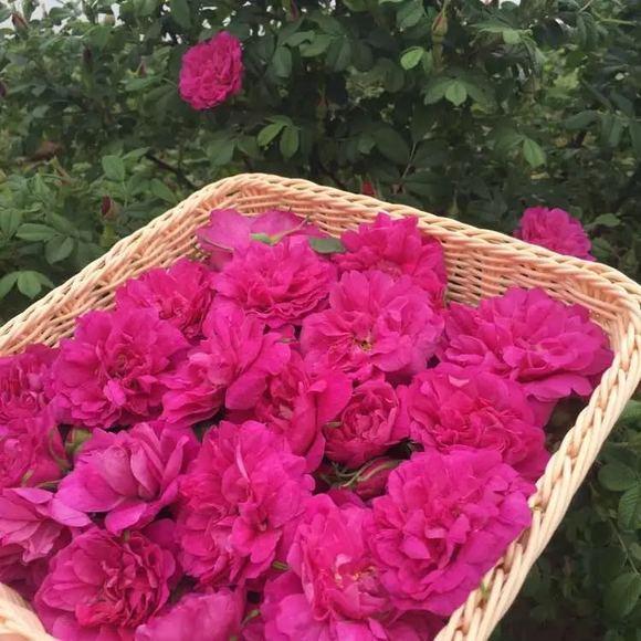 刚摘的玫瑰花,漂亮不图片