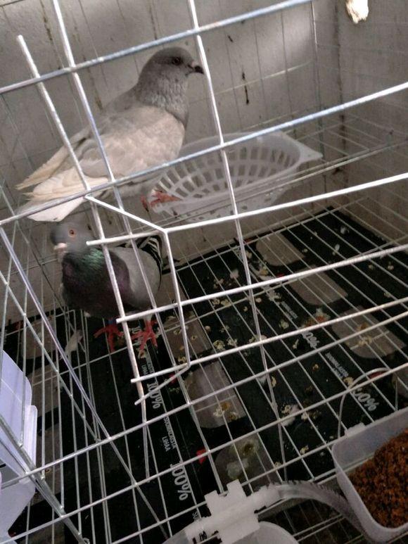 鸽子笼养一个月图片