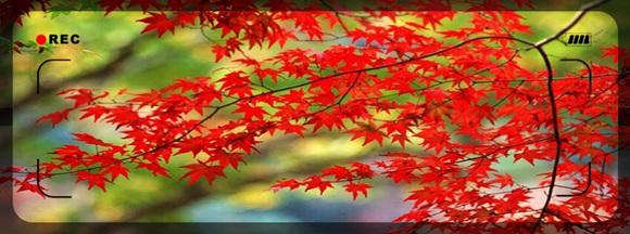 回复:★分享★20140223★枫树流光飞舞,愿君前程似火