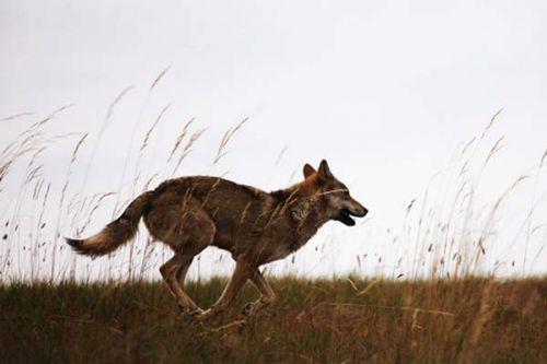 虎是猫科之冠,狼是犬科之冠