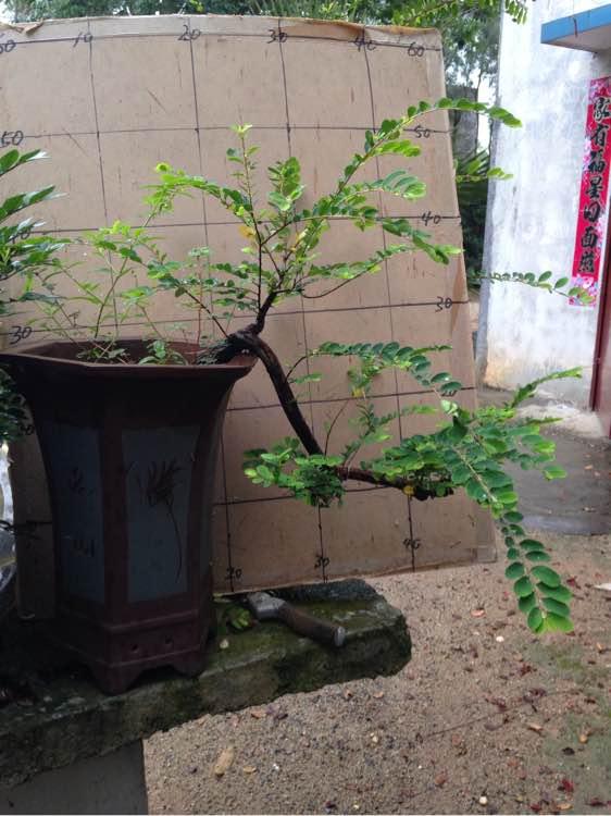 7.5小叶红芽提根雀梅山沙皮熟桩【桩斗牛犬和格木狗哪个好图片