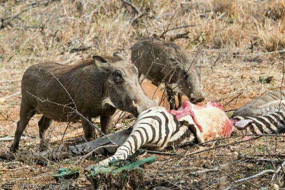 鬣狗活吃角马