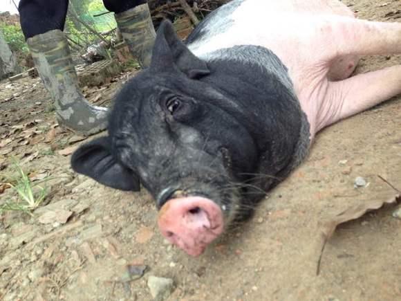 回复:肉肉老母猪的乡下生活~长期更.图片