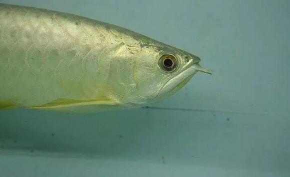 目前龙鱼头型的几大类型平头,翘头,炮弹图片