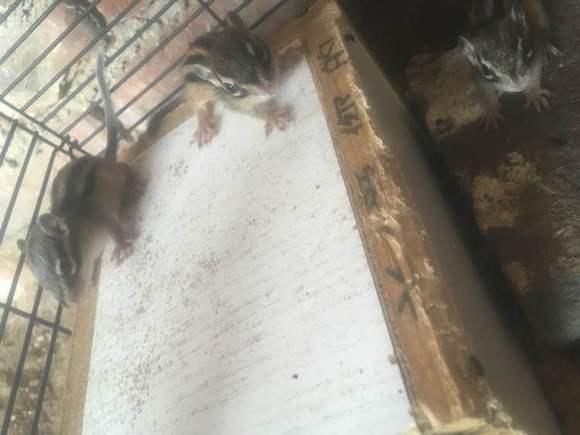 【170610●ω●求助】各位大佬这样的算奶鼠吗?图片