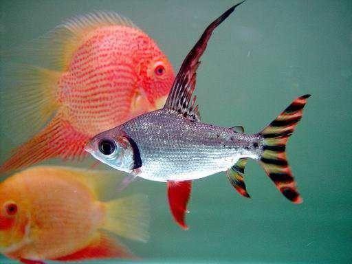 美国旗鱼jordanella floridae 又名飞凤鱼,旗鱼,星条鱼.