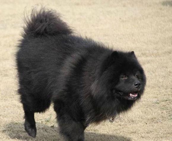 【图片】熊犬(土松狮)【成都土狗吧】_百度贴吧