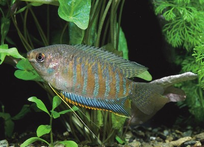 丽丽鱼 曼龙鱼 热带鱼种类图片大全 曼龙鱼图片