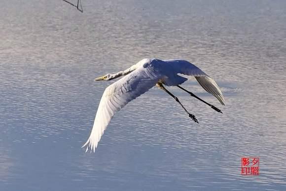 【图片】三江口湿地拍大白鹭【同江摄影家园贴吧吧】