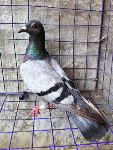 动物鸽乌龟鸟鸽子377_500竖版竖屏梦见女下蛋鸟类已婚图片